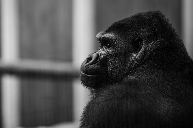 Gorille de saint martin la plaine