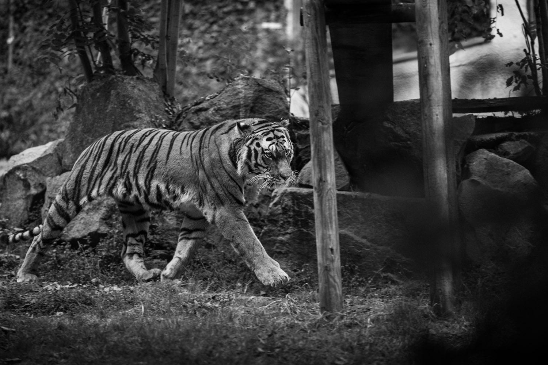 tigre au zoo de saint martin la plaine