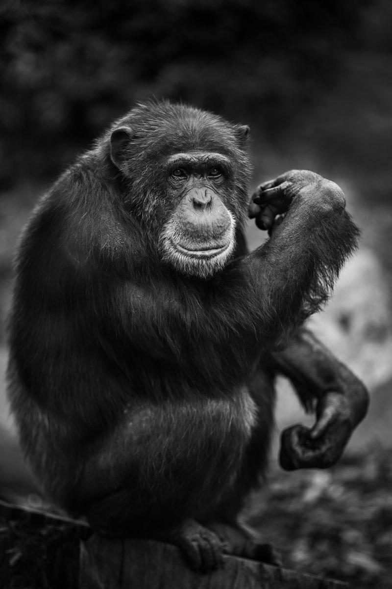 singe Chimpanze