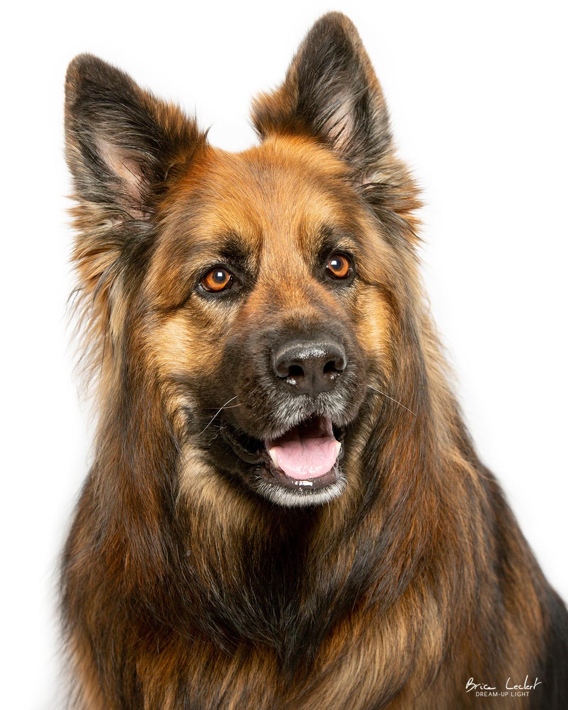 portrait-studio-animaux-chien