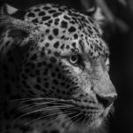 zoo-st-martin-panthere-hd